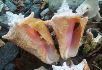 Conch Shells, St John USVI